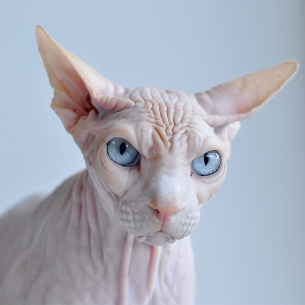 Do Hairless Cats Get Goosebumps