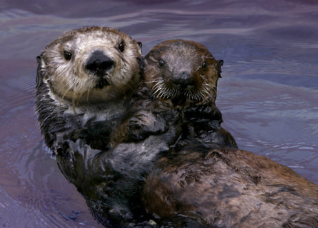 $10k reward to find disgusting person gunning down sea otters