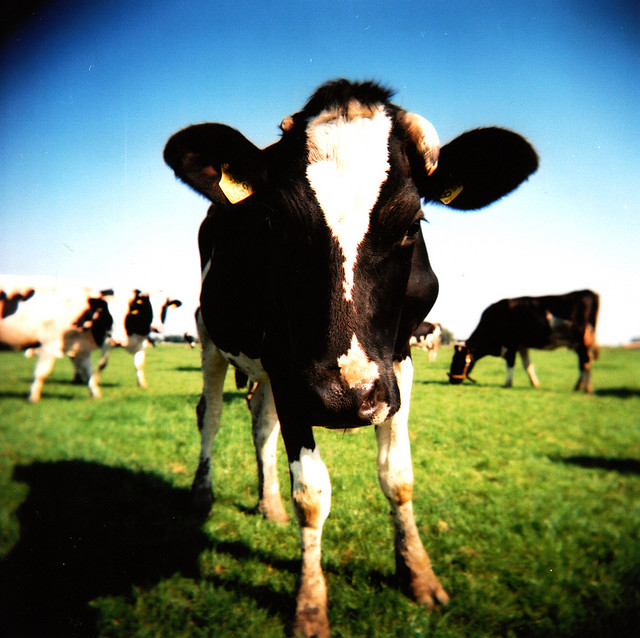 Cows Kill More Peole A Year Than Sharks by imsocrazy ... |Scary Cows Killing Someone
