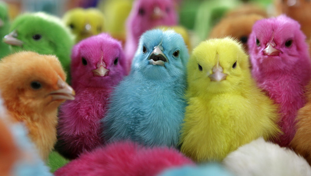 Gallery For gt Colored Chickens