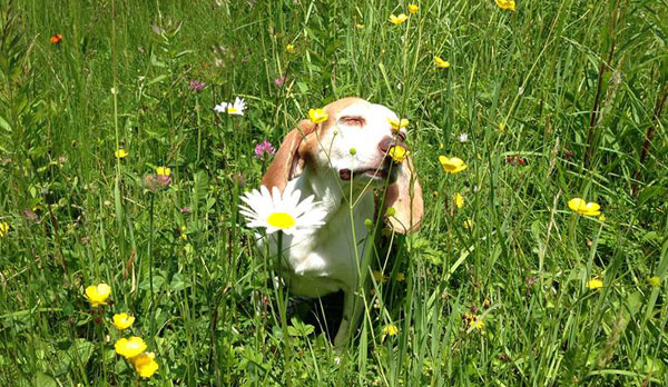 """Jerry (rescued from kill shelter) loves to smell flowers"""