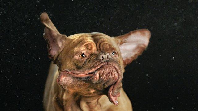 Dog Shakes Head After Barking