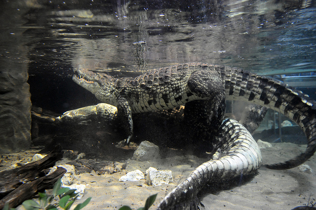 Crocodile Dick 10