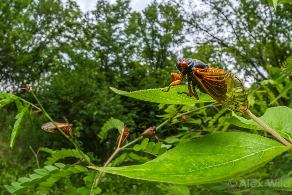"""Alex Wild: """"Brood III periodical cicadas during the 2014 emergence. Panther Creek State Conservation Area, Illinois, USA."""""""