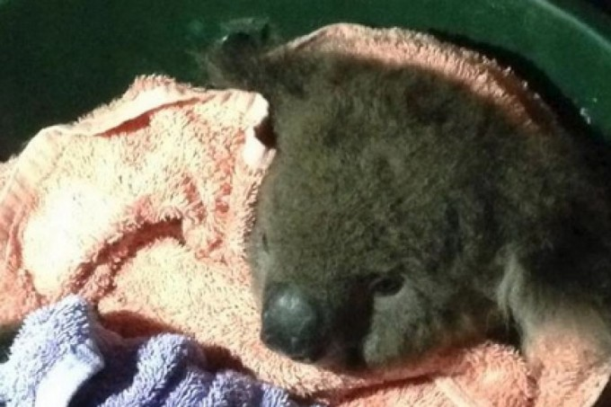 Firefighters give mouth-to-mouth emergency aid to koala named Sir Chompsalot