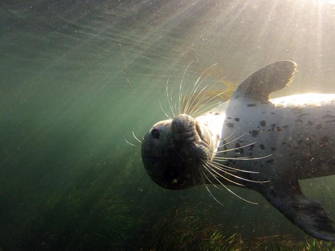 Harbor seal (Phoca vitulina) underwater off the coast of Monterey.