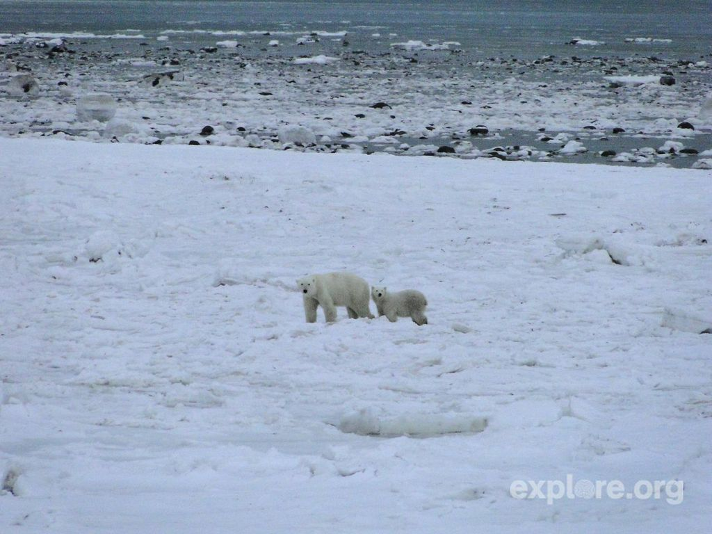 WATCH: a livecam of the world's largest migration of polar bears