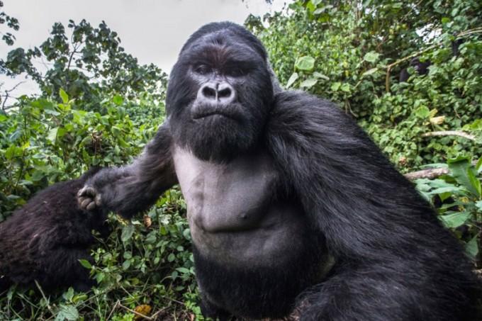 Drunk mountain gorilla punches photographer, who got the shot.