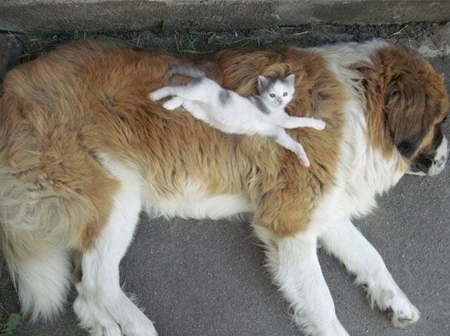 Adorable tiny kitten uses giant dog as fluffy pillow