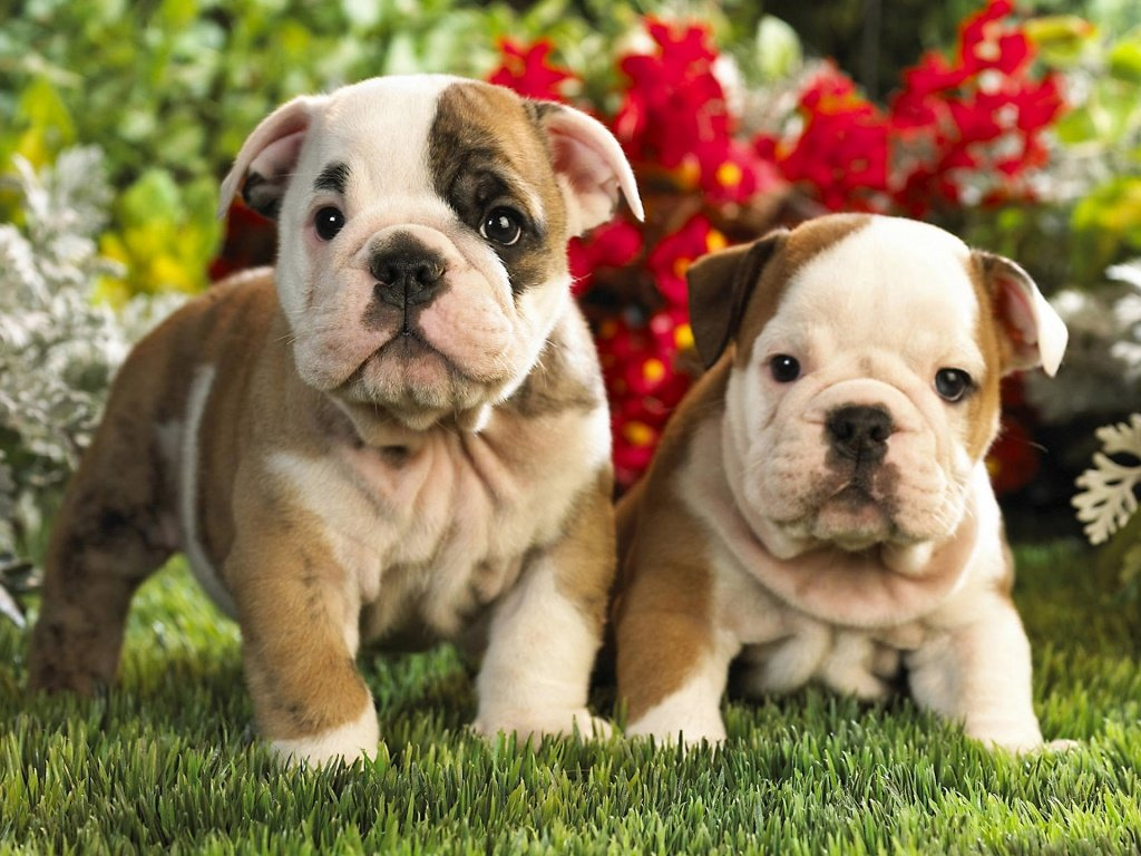 Bully Dog Puppies For Sale In Pakistan