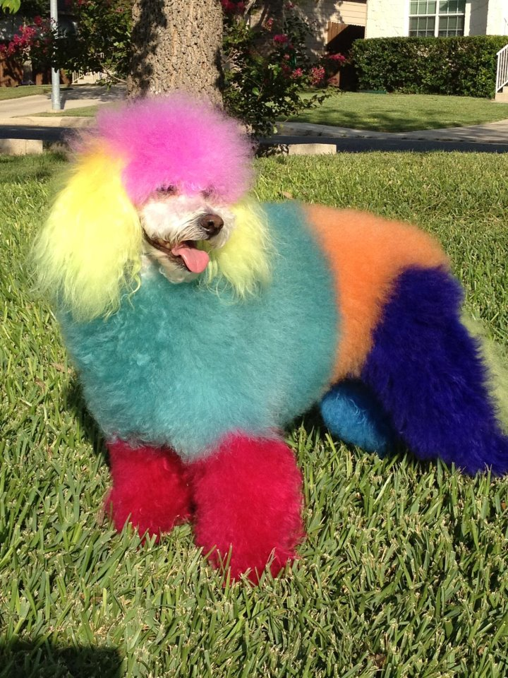 Just a poofy rainbow poodle / Boing Boing