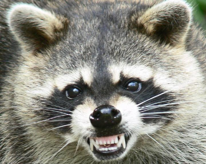 Not the actual rabid raccoon that attacked Cas Overton.
