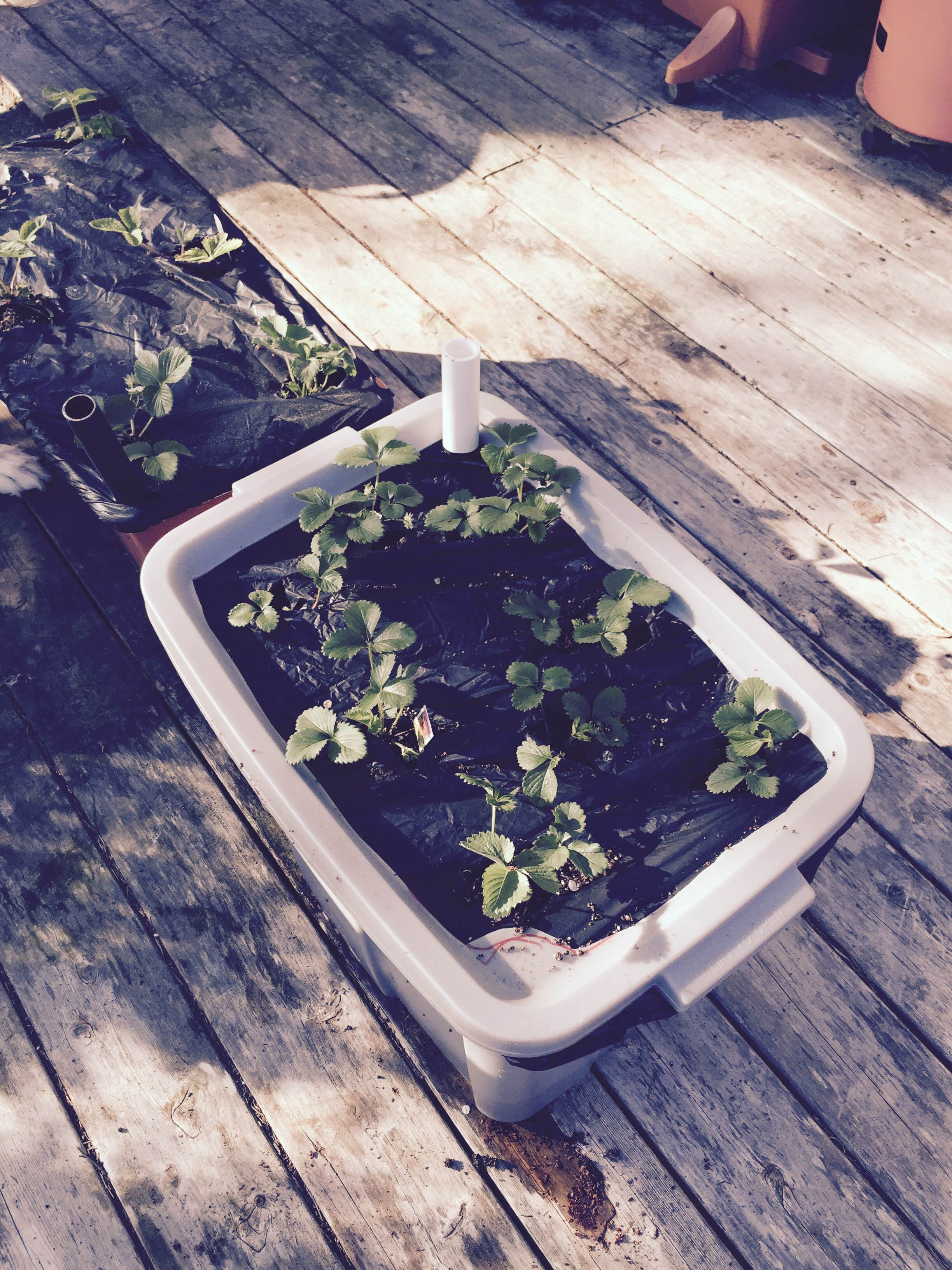 Container gardening: Earthbox vs Rubbermaid Tote