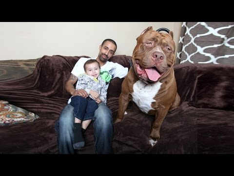 Profile Of Hulk A 175 Pound Pit Bull Boing Boing