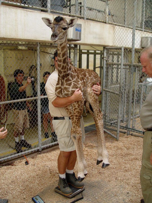 Apparently This Is How You Weigh A Baby Giraffe  Boing Boing-2240