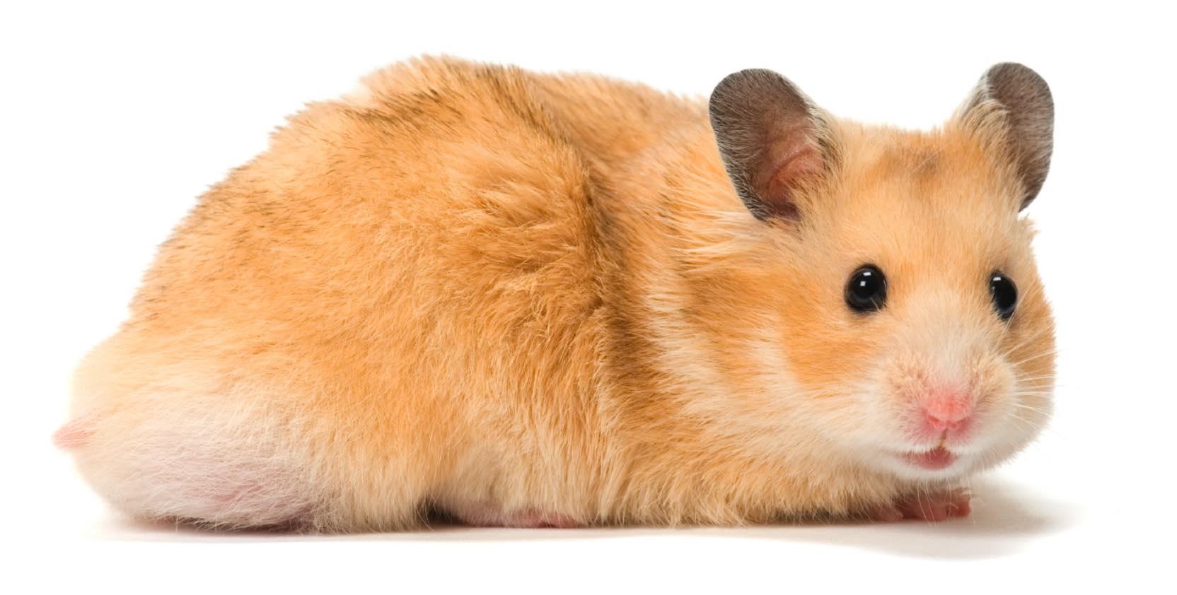 hamster de