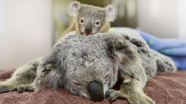 Koala baby won't let go of mom while she undergoes surgery. Both survived being hit by a car.