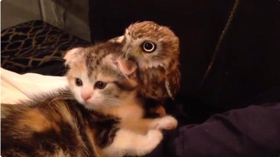 Cute Boing Boing - Owlet kitten meet coffee shop become best friends