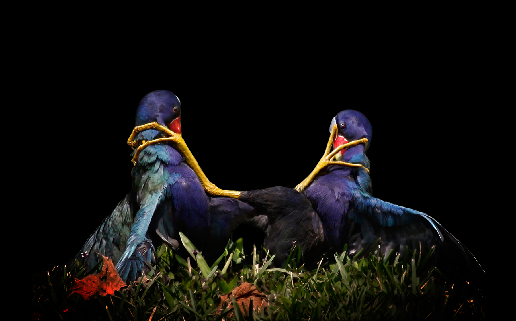luzader-gallinules