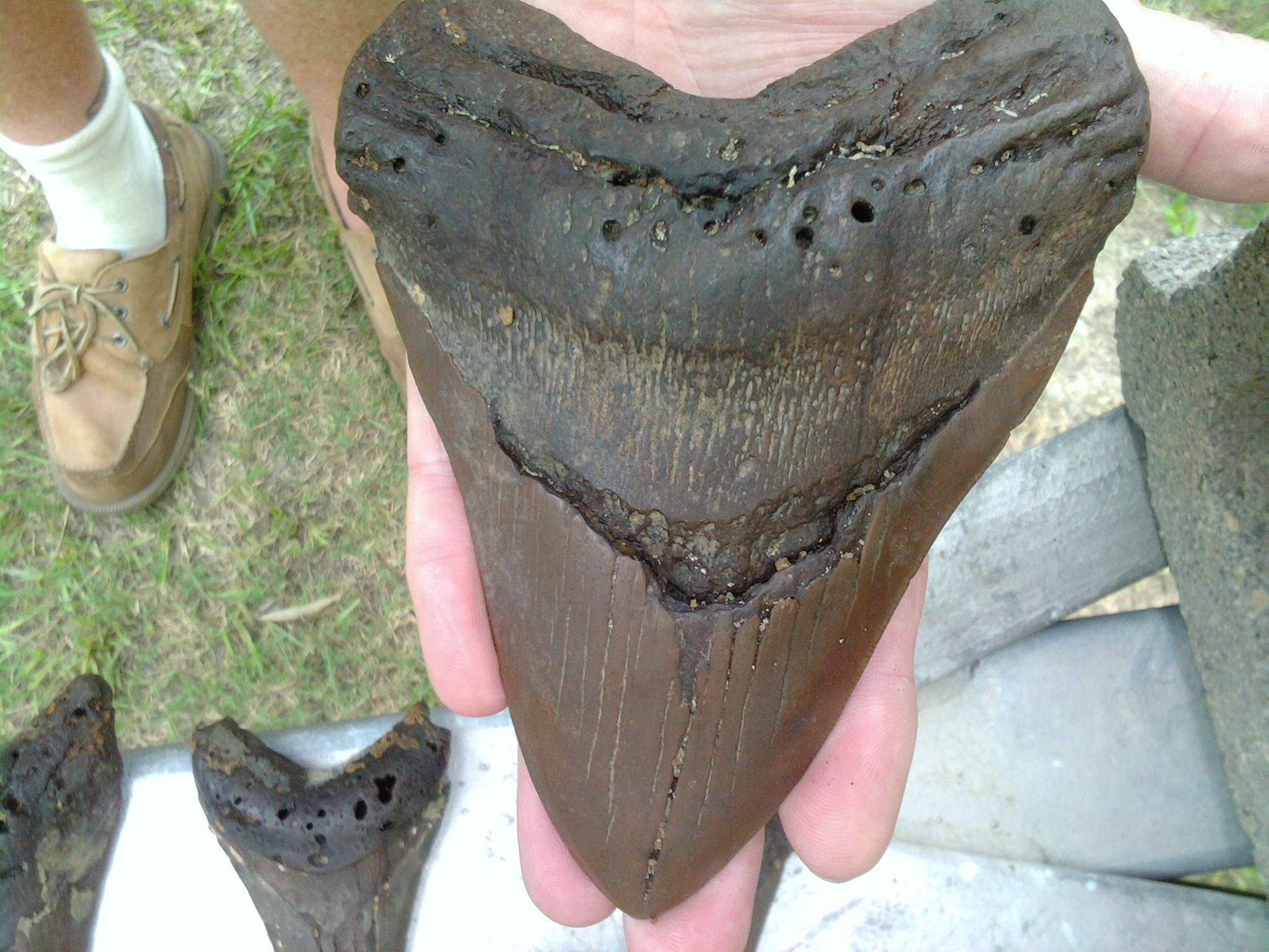 A Megalodon shark tooth fossil. Photo: Johnny Cercopely.