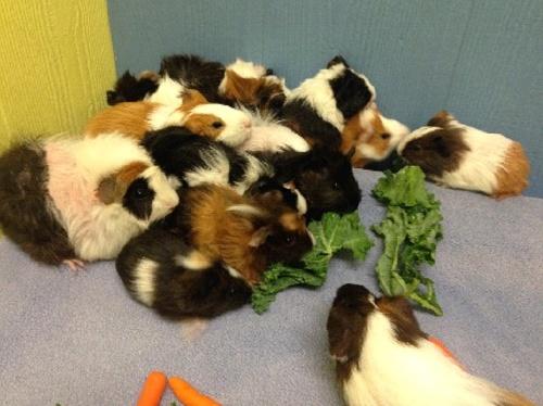 guinea-pigs-rescue-jpg