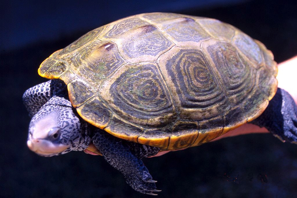 1024px-Diamondback_turtle_adult_female