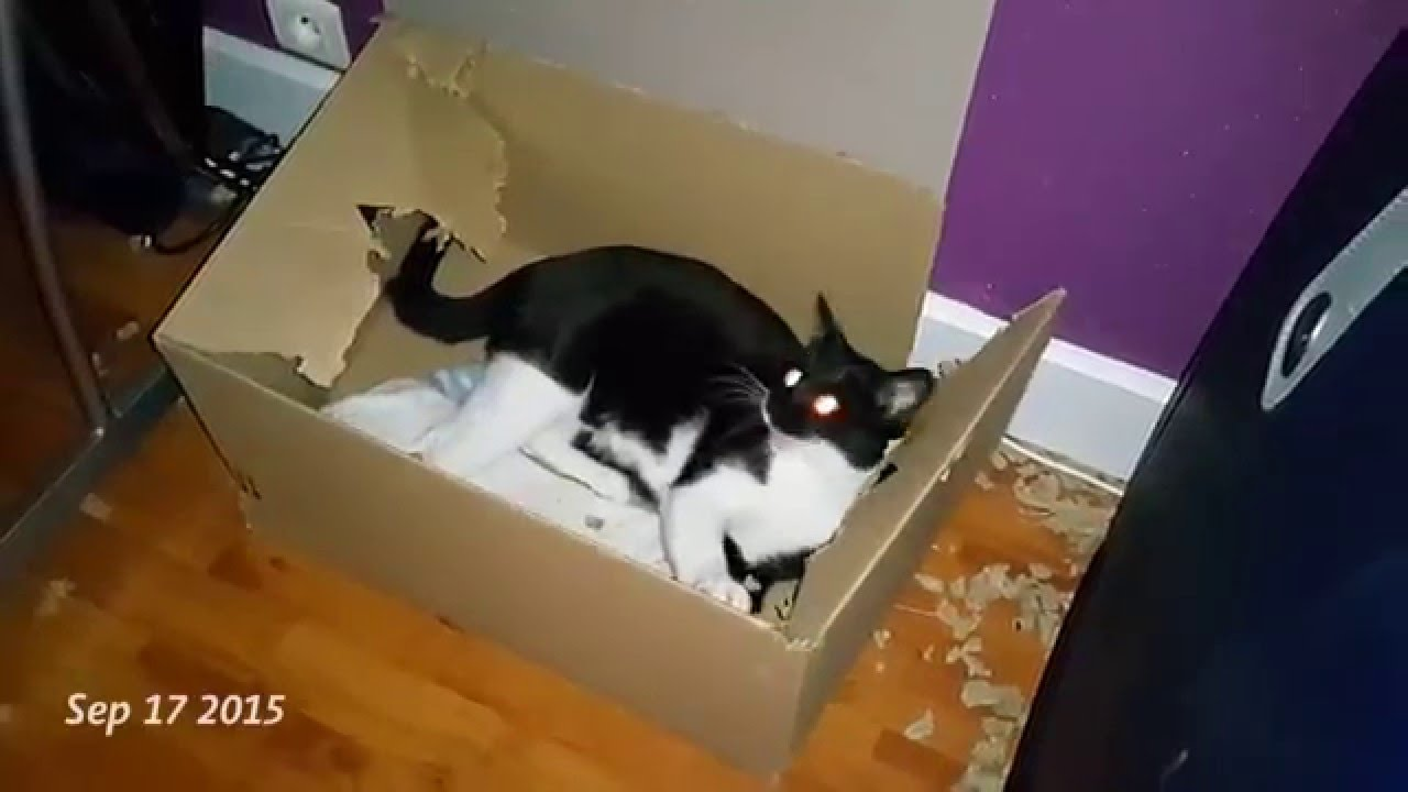 Cat Enjoys Tearing Up Cardboard Boxes Doesnt Care How Long It Takes Nope