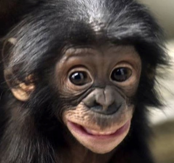 This bonobo's big grin is infectious / Boing Boing