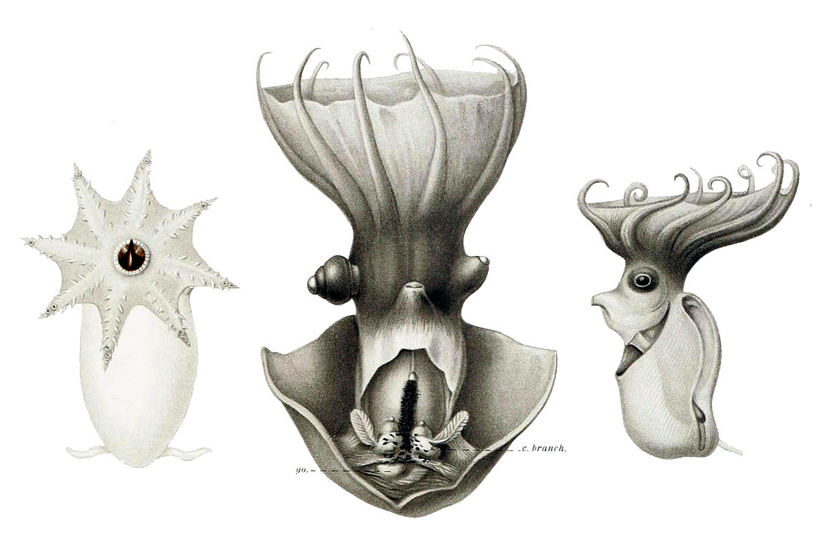 1200px-Vampyroteuthis1 (1)