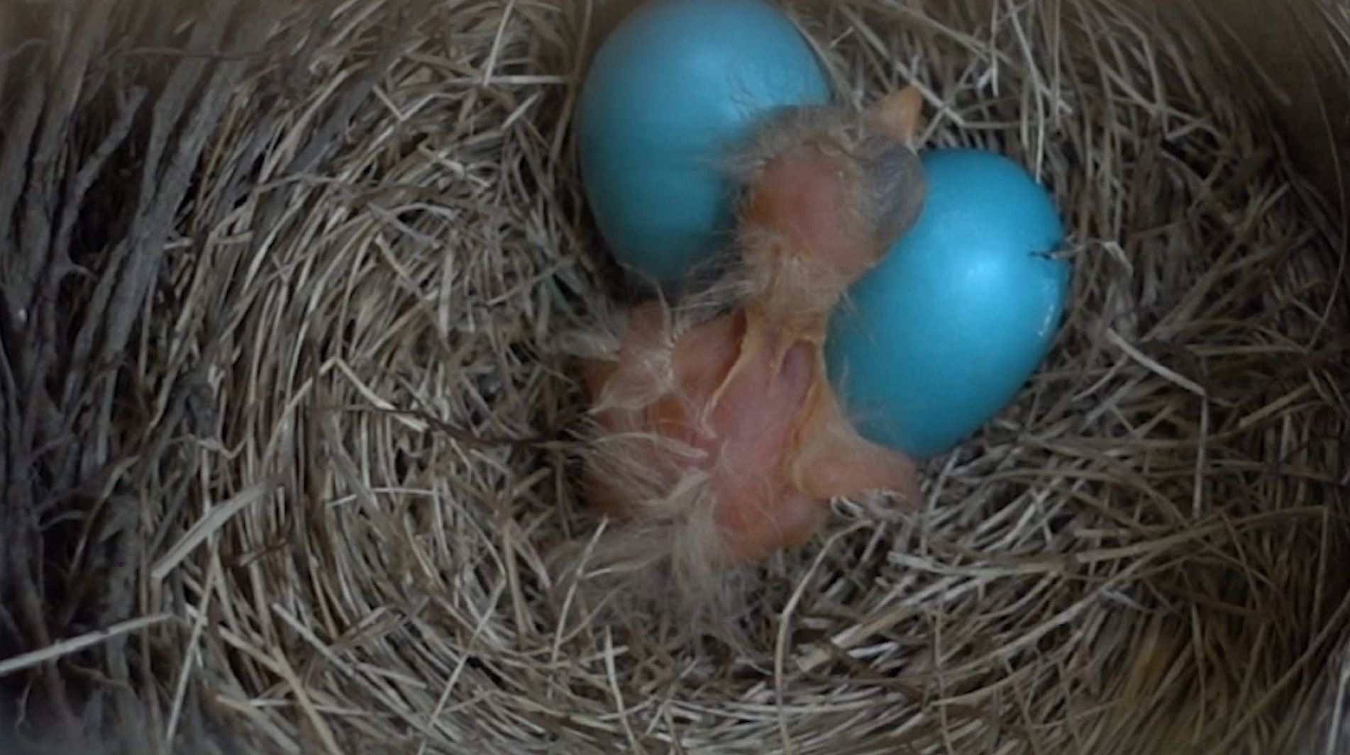 Watch Robin Hatchling Under My Deck Boing Boing