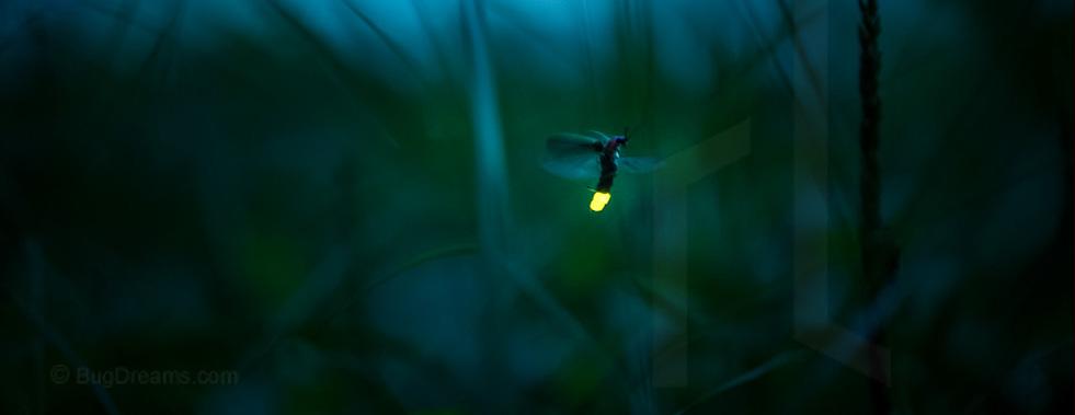 Lieder-Firefly_03081427