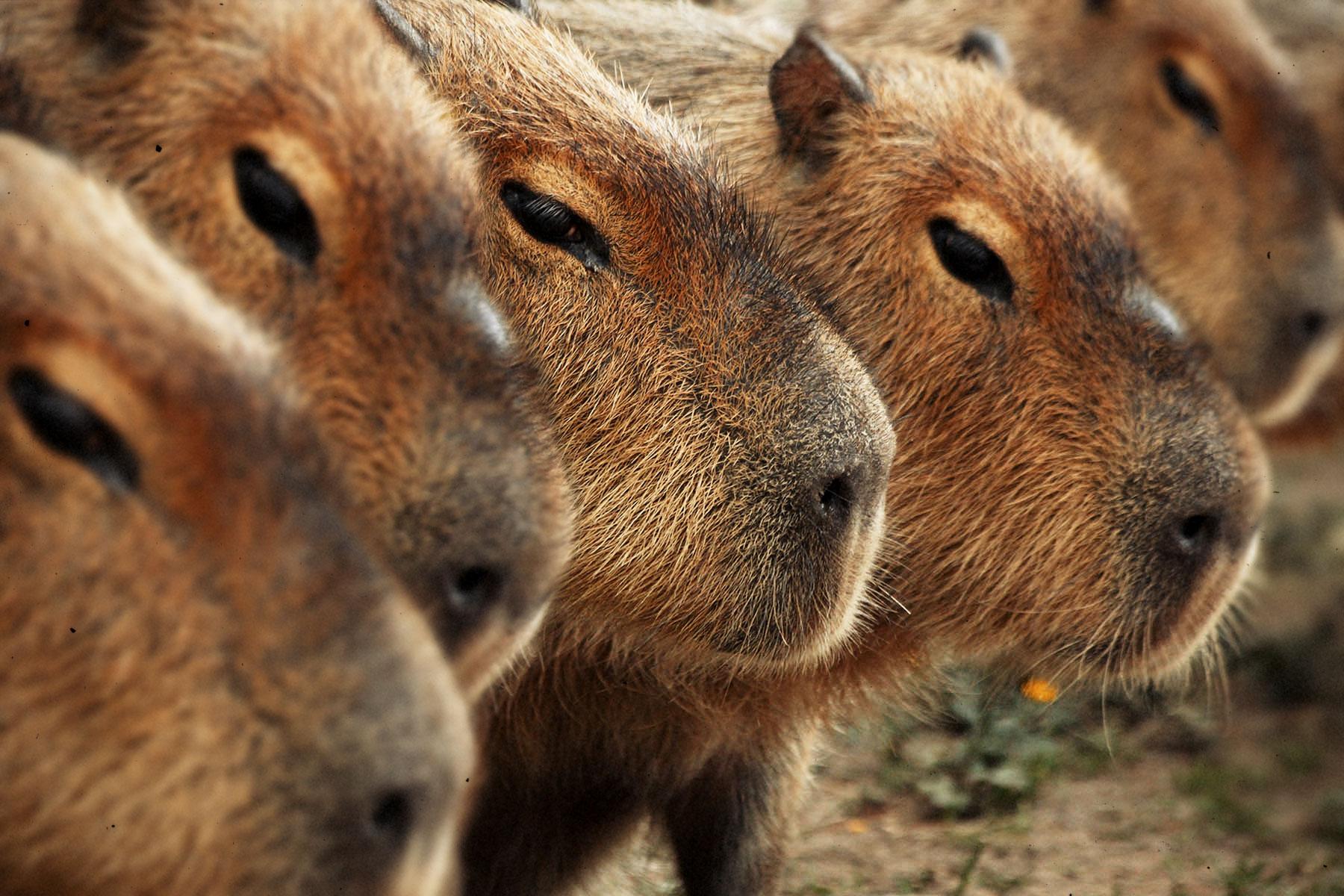 Capybara Army