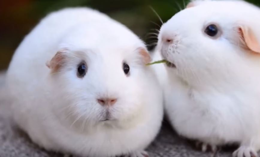 disappointed guinea pig