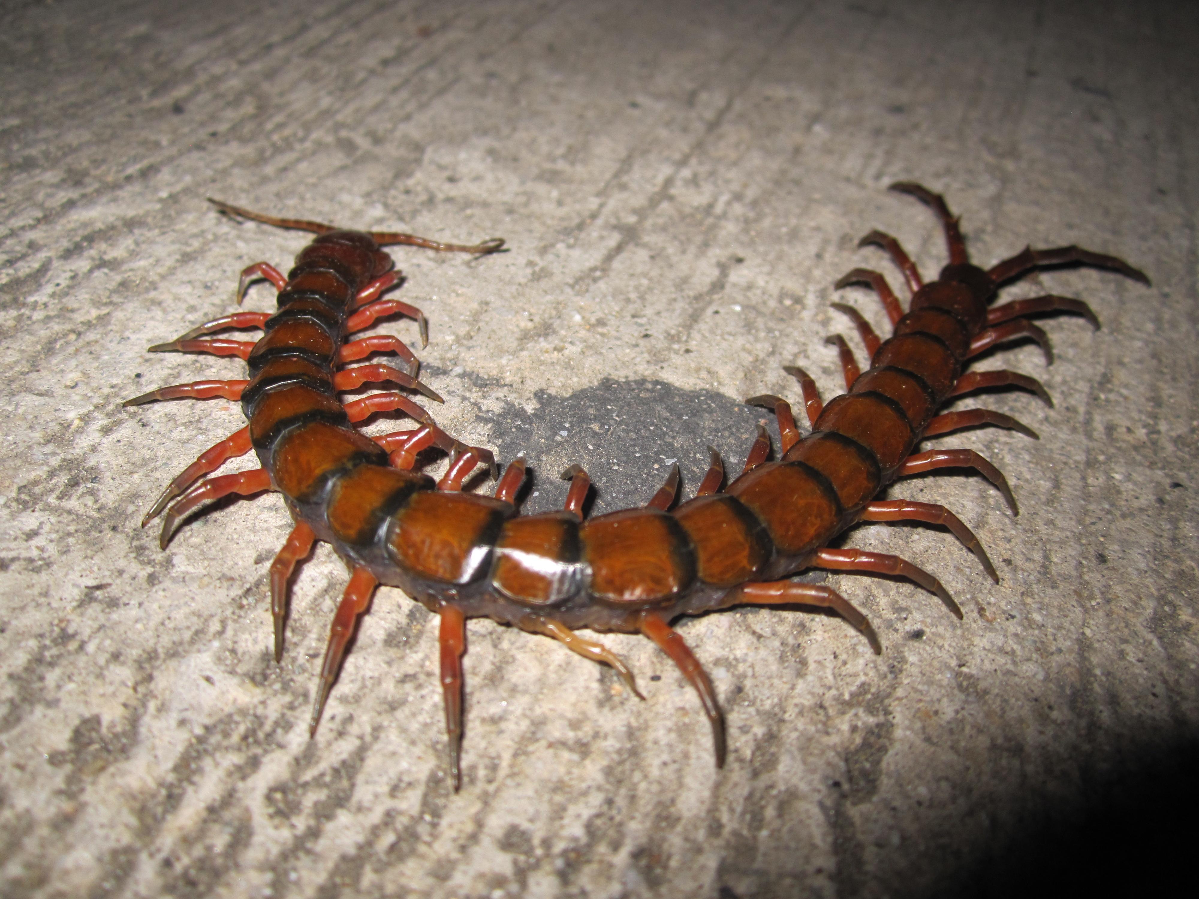 Centipede.2