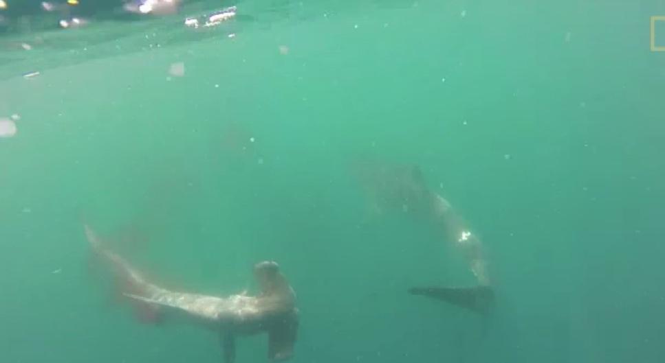 Tiger shark vs hammerhead shark - photo#13
