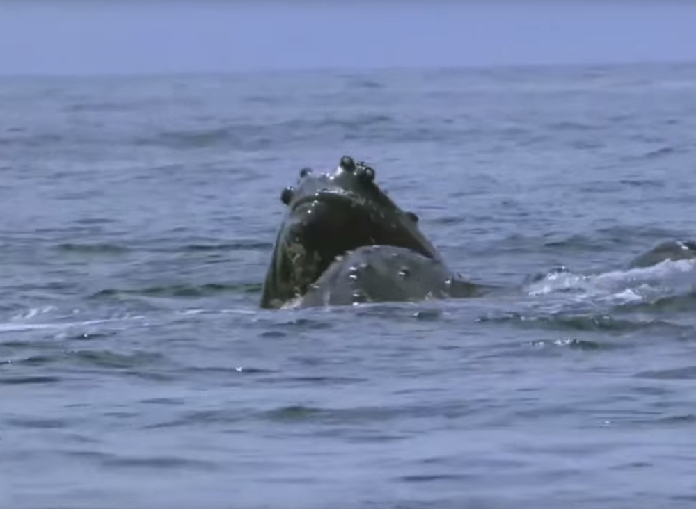 whale-orca