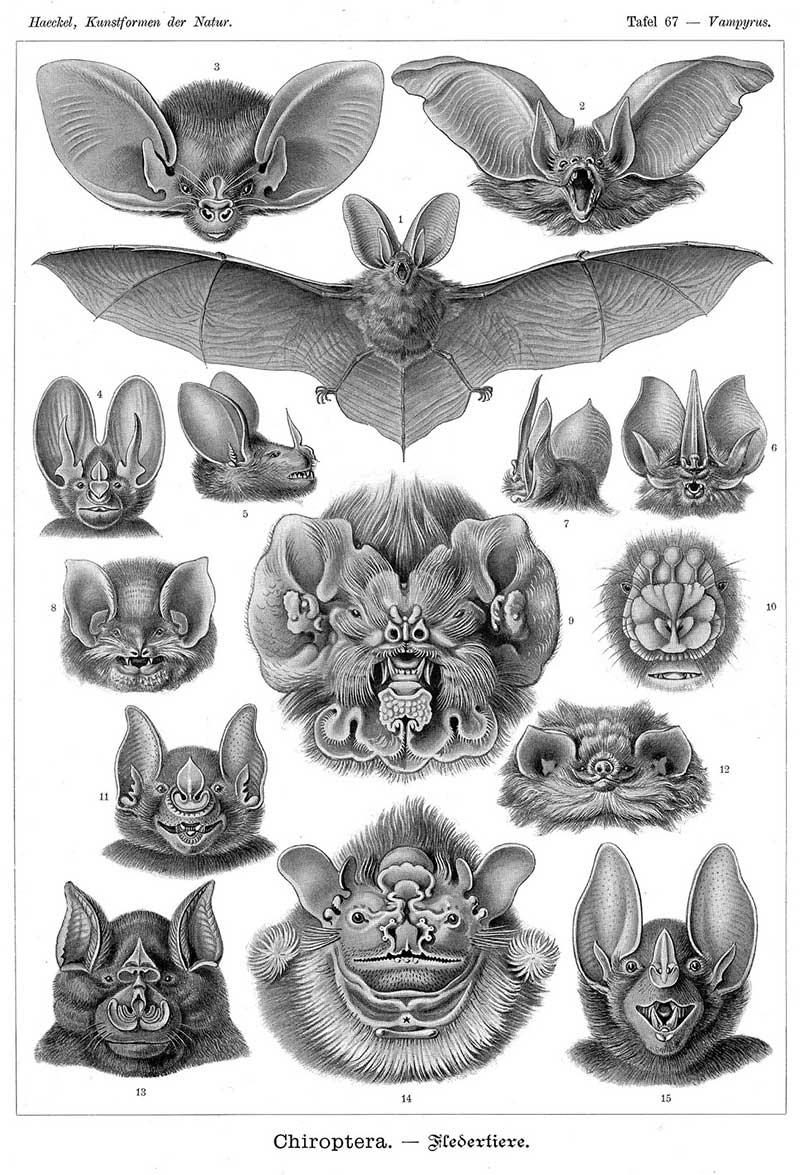 Ernst Haeckel S 1904 Bat Drawings