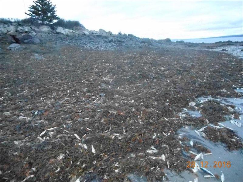 More than 20000 dead sea creatures wash ashore in Nova Scotia