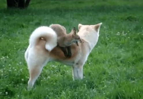 Watch the quick brown fox actually jump over the lazy dog / Boing Boing