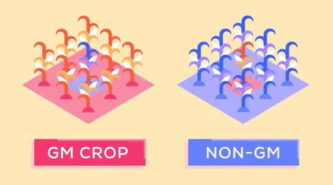 gmos good or bad Genetically modified food, explained are gmos safe to eat are gm crops good or bad for the environment what else should i read about genetically modified.