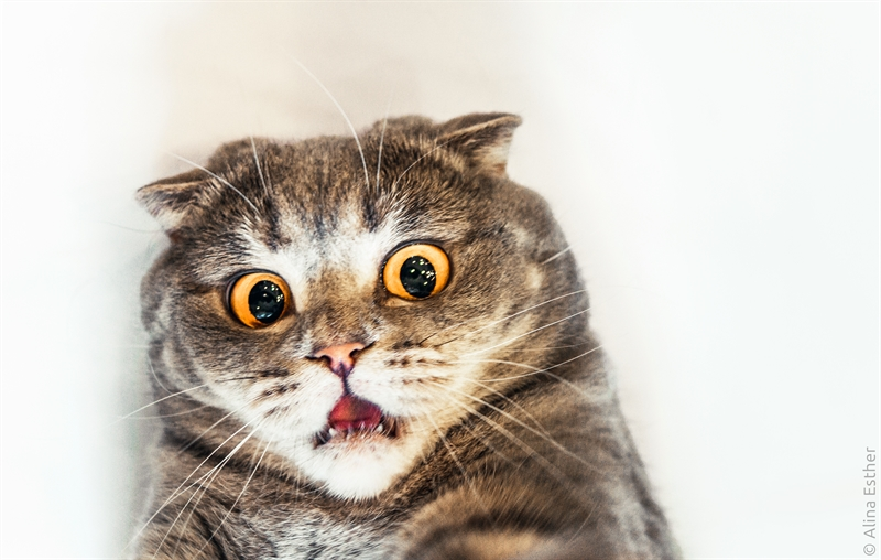 Surprised Cat Picture