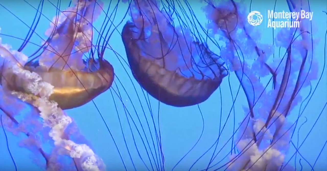 an oddly soothing live jellyfish cam boing boing