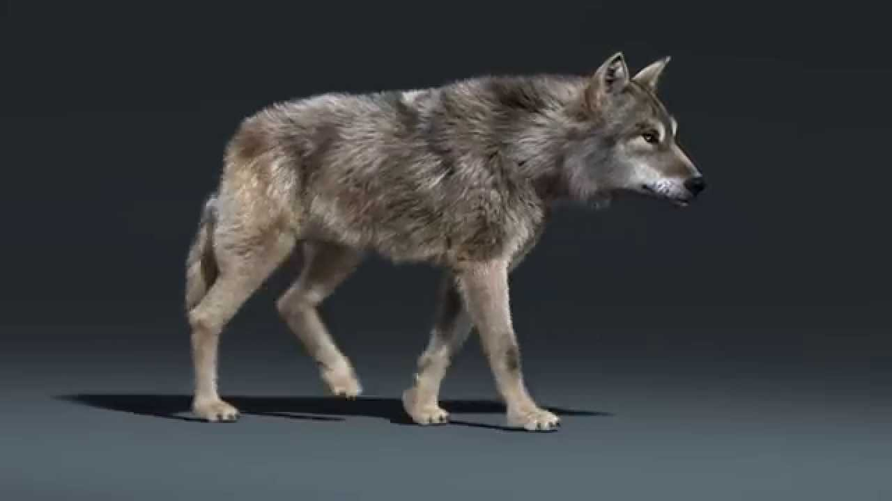 Bluebiscuits Studios Posted A Video Tutorial Illustrating How To Make An  Incredibly Realistic Wolf Animation In Blender Even As A 2d