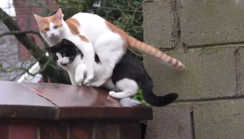 Two cats bouncing in sync up a wall onto another wall