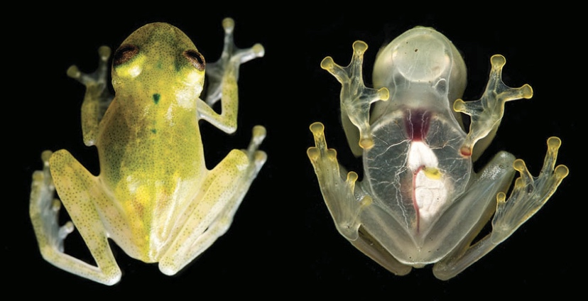 Scientists discover transparent frog