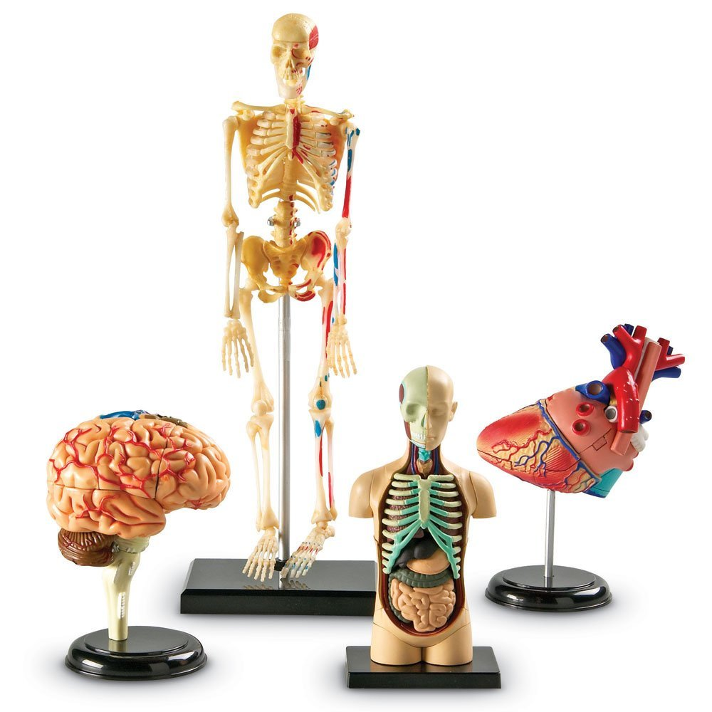 Four Anatomical Models You Assemble From 132 Anatomically Correct