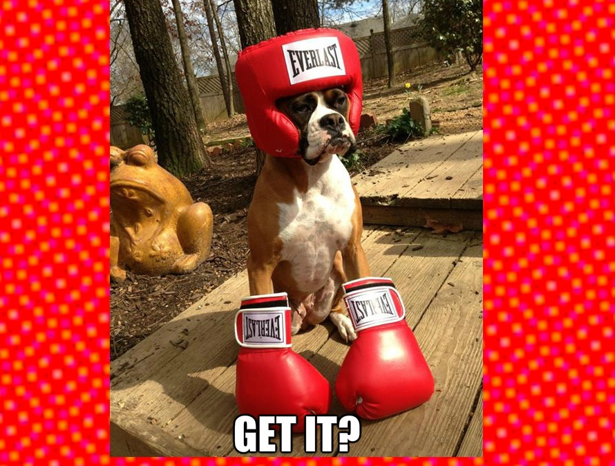 Boxer dog derp dump: here are some of the many reasons Boxer dogs rule