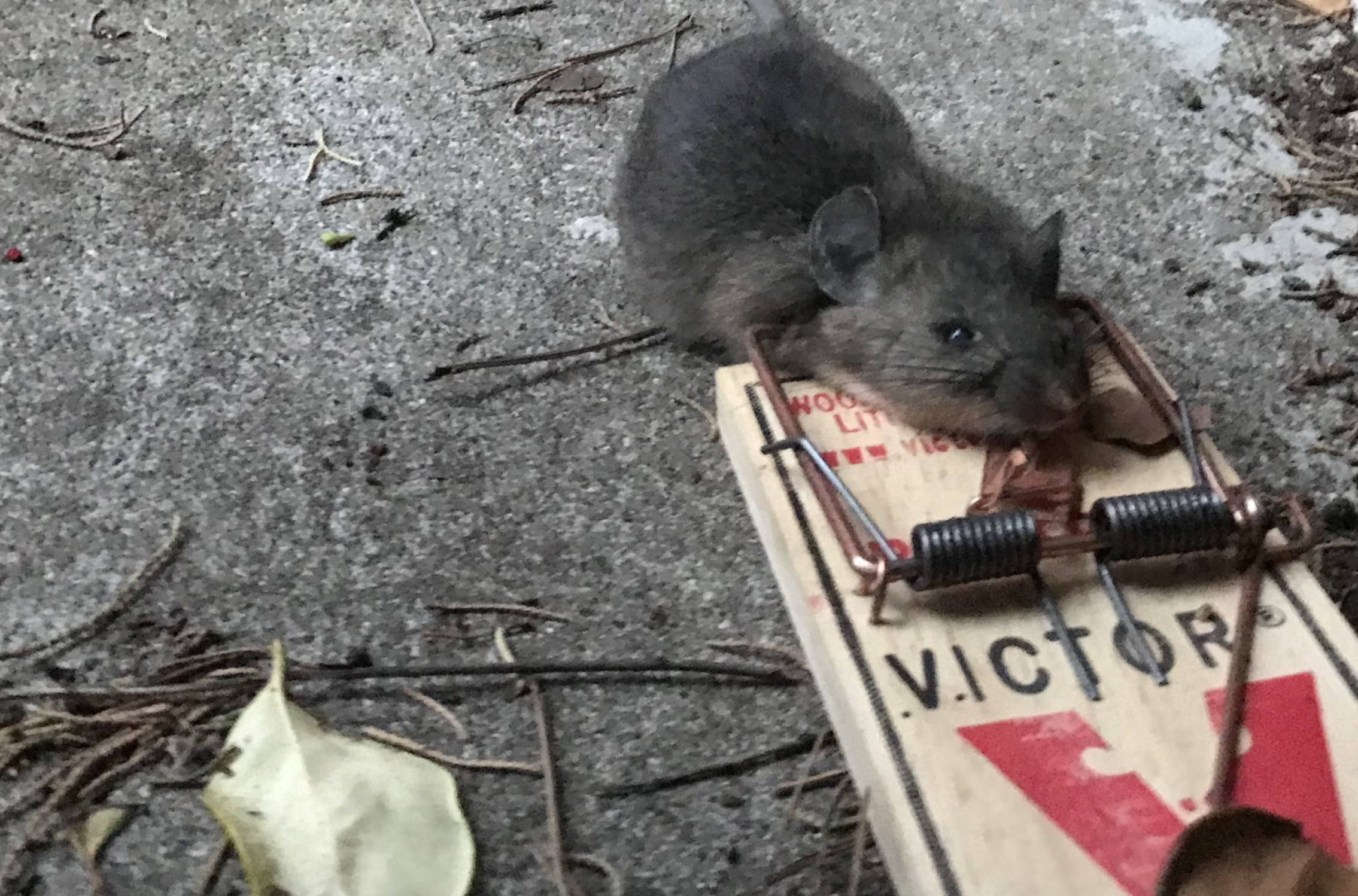 The rat king on the fascinations and revulsions of rattus boing an update from the war on rats biocorpaavc Image collections