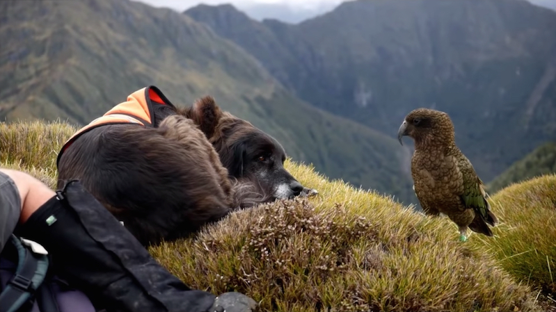 This border collie is busy saving New Zealand's endangered parrots