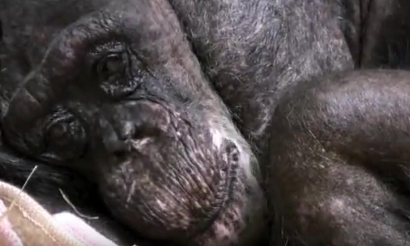 dying 59 year old chimpanzee recognizes old friend boing boing